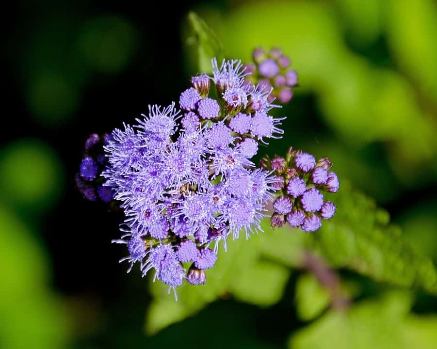 Types of flowers 170 flower names pictures flowerglossary ageratum mightylinksfo