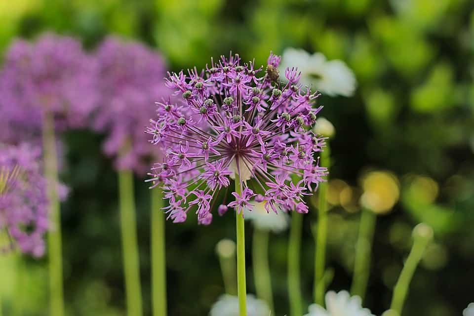 Also Known As Flowering Onion This Plant Grows From A Bulb Or Seed And Produces Globes Of Purple Clusters Flowers Atop Long Stems