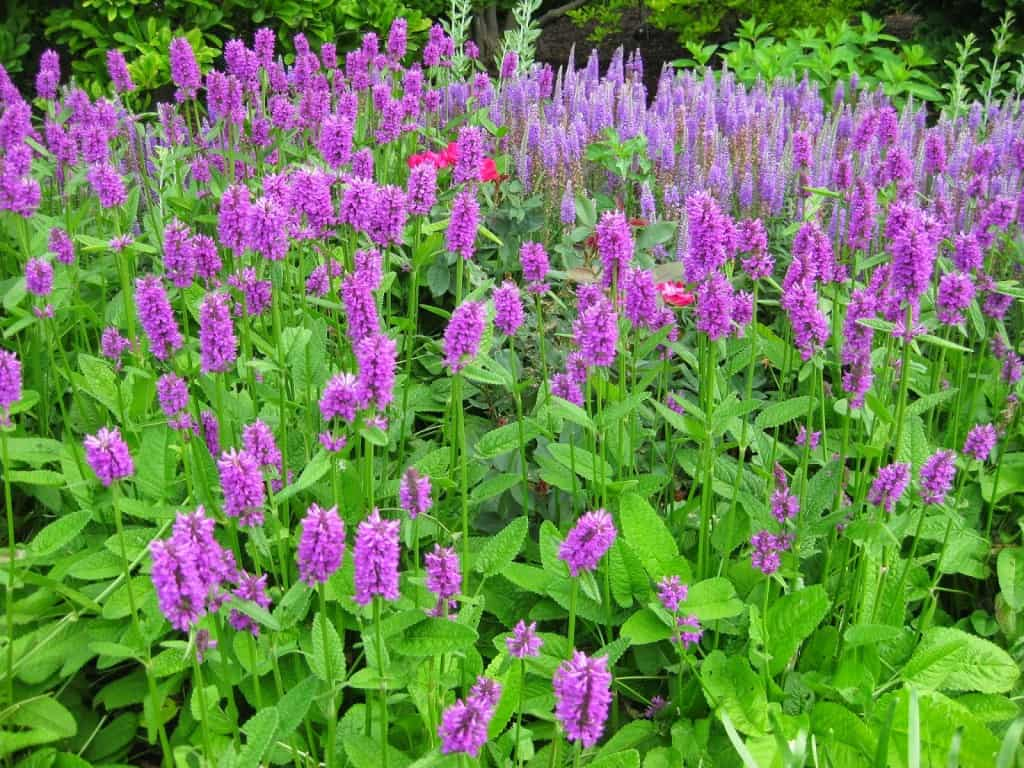 62 Types Of Purple Flowers With Pictures Flower Glossary,Transylvania Vlad Dracula Castle