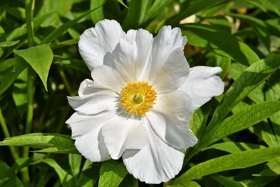 45 types of white flowers with pictures flowerglossary also known as windflower these tuberous flowers produce poppy like blooms in early to mid spring plant anemones in full sun or part shade mightylinksfo