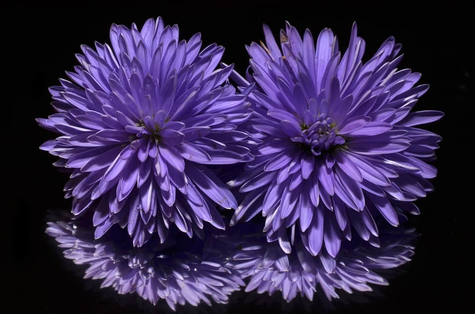 62 Purple Flower Types with Pictures