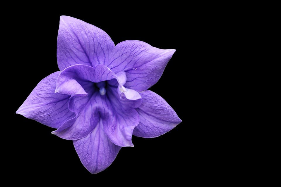 The Lilac Colored Bloom On Balloon Flower Is Known Shape That It Forms Right Before Blossoming If You Are Looking To Grow This