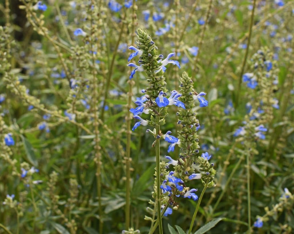 40 types of blue flowers with pictures flowerglossary salvia spreads quickly forming clump like masses with stalks of blue red or lavender flowers while it is considered an annual the plant self seeds izmirmasajfo