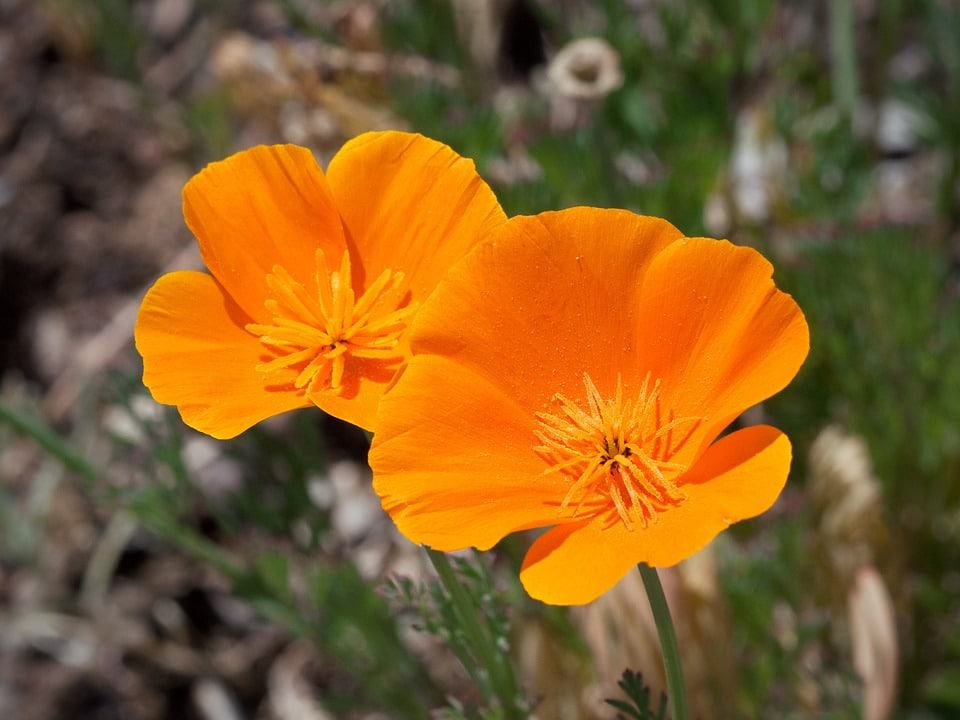 Types of flowers 170 flower names pictures flowerglossary a native wildflower these flowers can add a pop of color to dry hot areas mightylinksfo