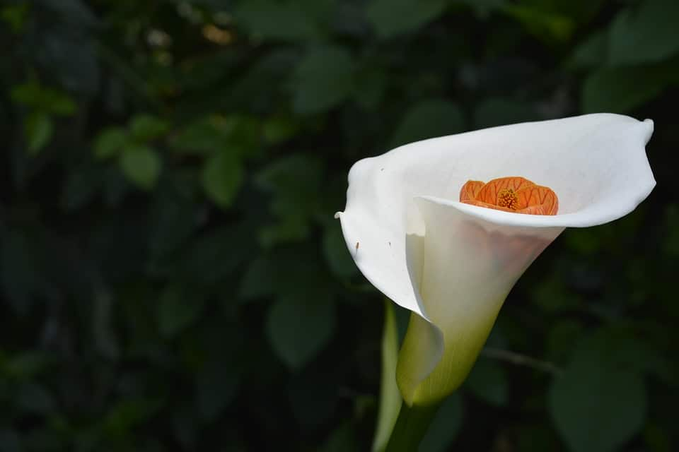 45 types of white flowers with pictures flowerglossary known for their single petal bloom calla lilies are a common cut flower given around easter these can be easily grown inside or outdoors mightylinksfo