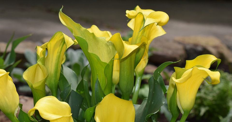 30 Types Of Yellow Flowers With Pictures Flowerglossary