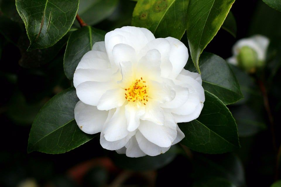 45 Types of White Flowers with Pictures
