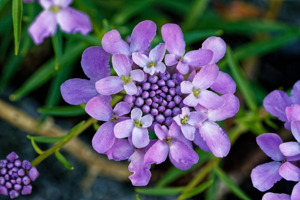 Named For Its Lilac Colored Blooms That Resemble Cotton Candy These Purple Bunches Of Flowers Should Never Be Eaten They Are Perfect Rock Gardens Or