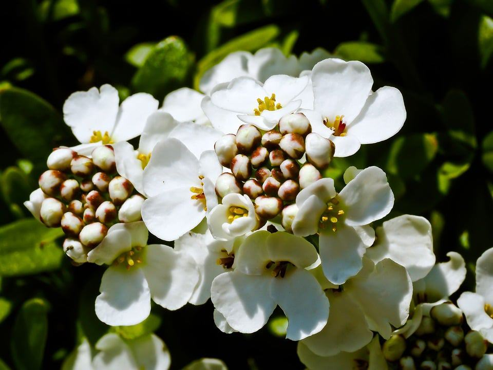 45 types of white flowers with pictures flowerglossary named for its lilac colored blooms that resemble cotton candy these purple bunches of flowers should never be eaten they are perfect for rock gardens or mightylinksfo