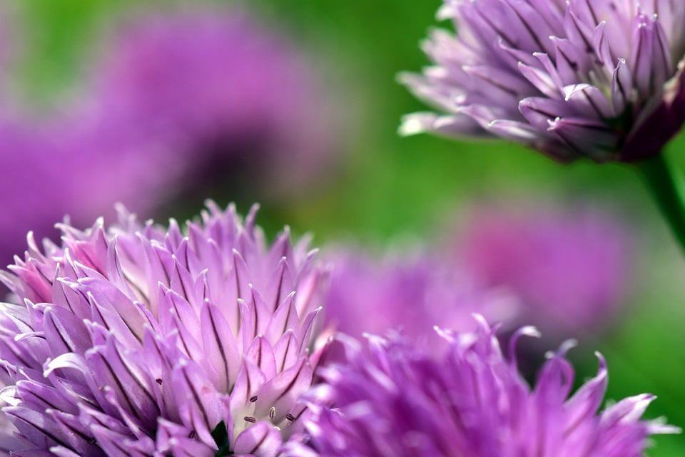 Types of flowers 170 flower names pictures flowerglossary although this is know as being a popular herb the flowers it produces are a beautiful purple that can be perfect for the edging in flower gardens mightylinksfo