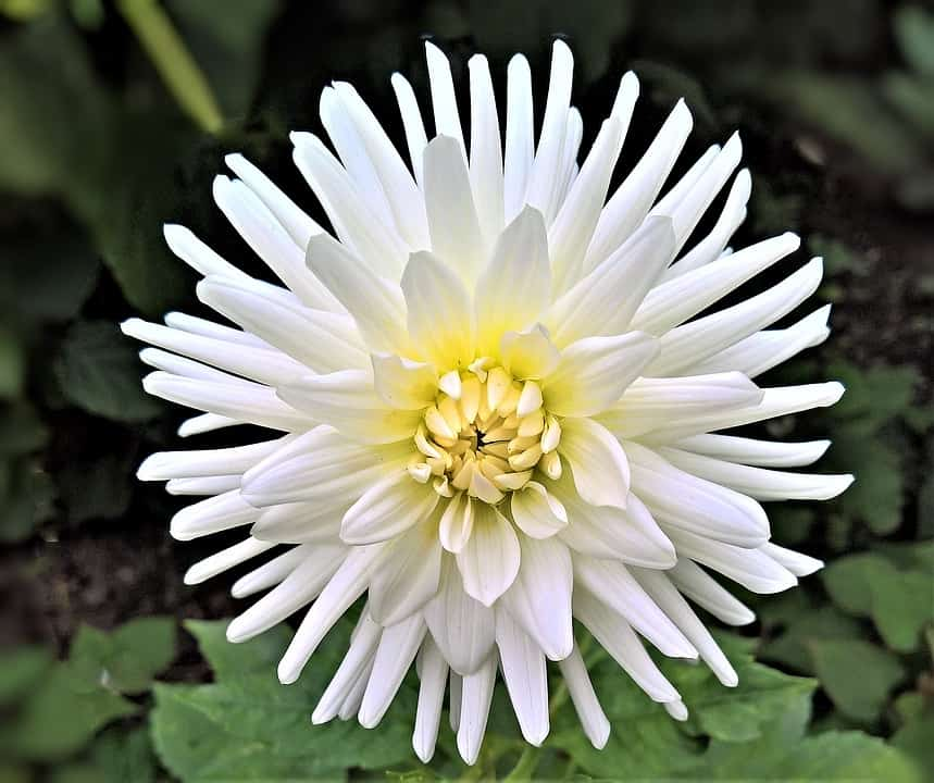 45 Types of White Flowers with Pictures | Flower Glossary