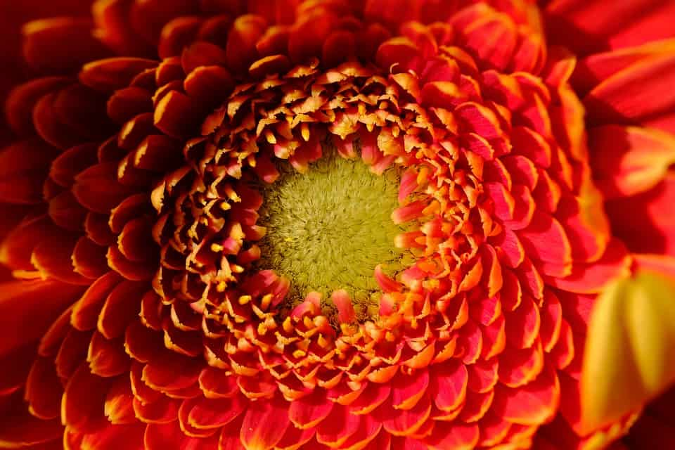 40 types of red flowers with pictures flowerglossary chrysanthemum mightylinksfo Images