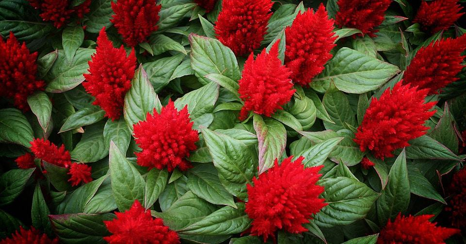 40 Types Of Red Flowers With Pictures Flowerglossary