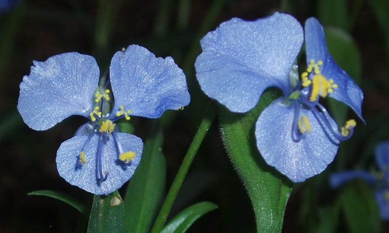 Birdbill Dayflower