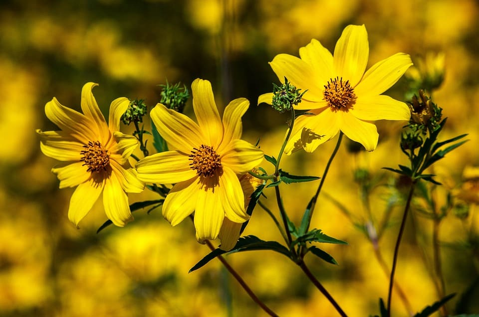 30 types of yellow flowers with pictures flowerglossary these cheery yellow or orange flowers resemble daisies and grow in almost any conditions they are short lived but self sow mightylinksfo