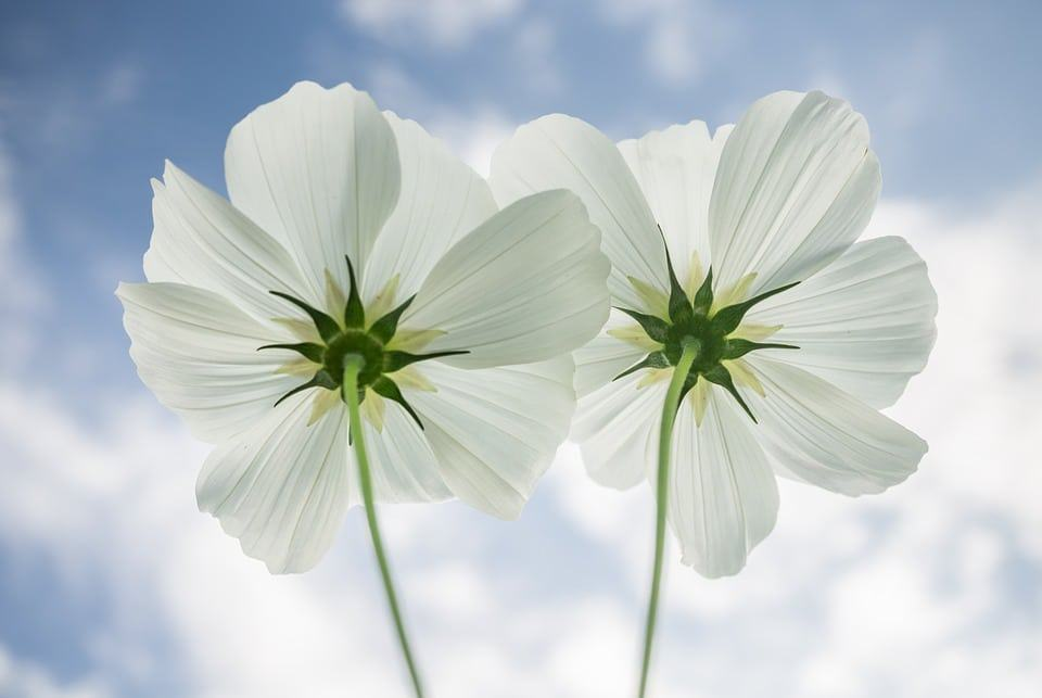45 types of white flowers with pictures flowerglossary these pretty flowers are commonly planted along side houses and fences due to their tallness if planting in the middle of the garden make sure to provide a mightylinksfo