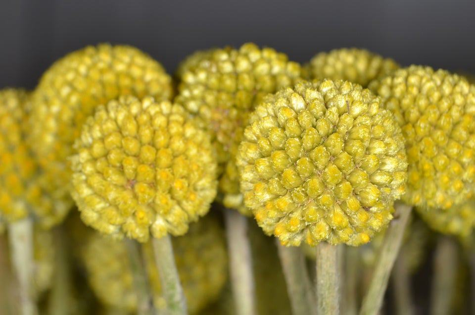 30 types of yellow flowers with pictures flowerglossary these yellow balls of flowers can grow to be the size a tennis ball if you live in a warm area and are looking for a easy to grow flower that blooms mightylinksfo