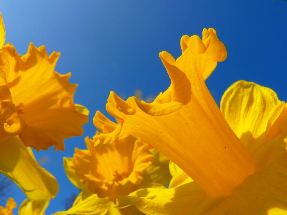 30 Types Of Yellow Flowers With Pictures Flower Glossary