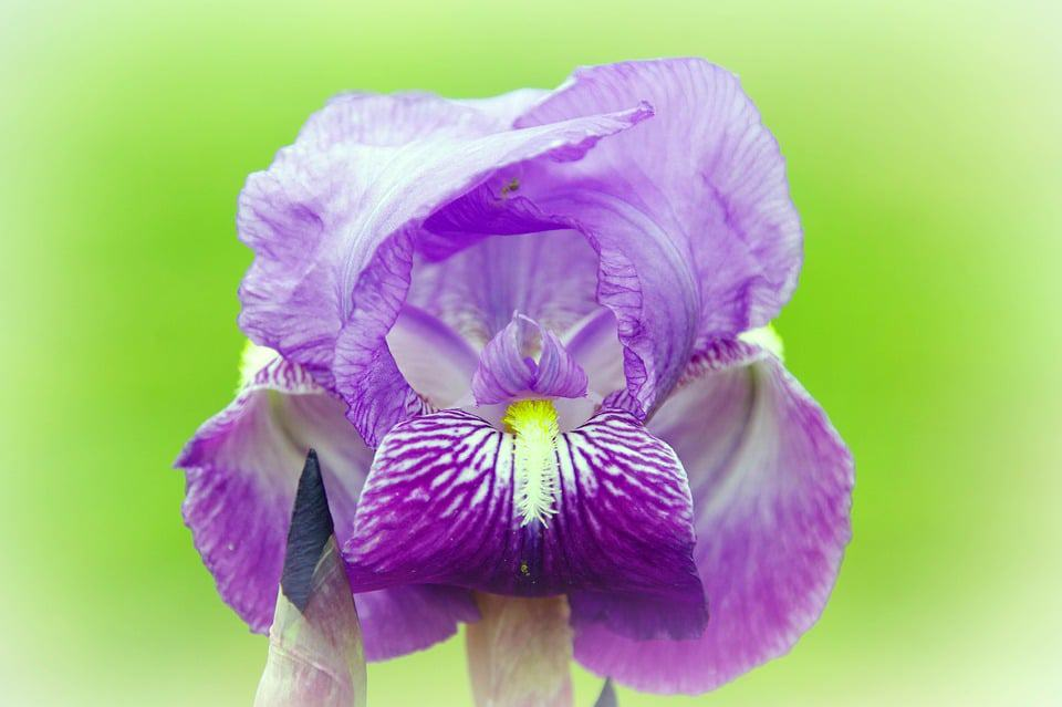 Tiny Versions Of The More Well Know Iris These Cute Purple Flowers Have A Bright Yellow Center On Each Petal They Are Great As Ground Covering In