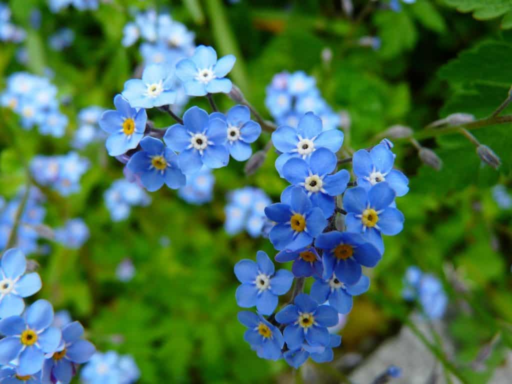 40 types of blue flowers with pictures flowerglossary no one has to worry about forgetting this stunning flower although it may be tiny its bright color will quickly make this one of your favorites izmirmasajfo