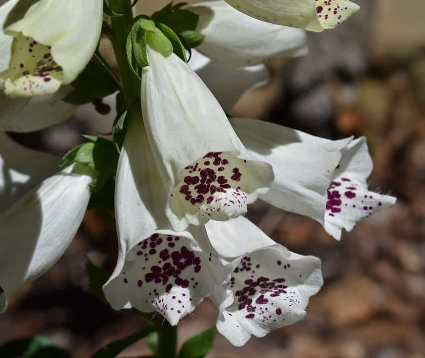 45 types of white flowers with pictures flowerglossary these polka dotted bell shaped blooms grow on long stalks if you have any heart issues you should avoid this flower as it contains oils that can be very mightylinksfo
