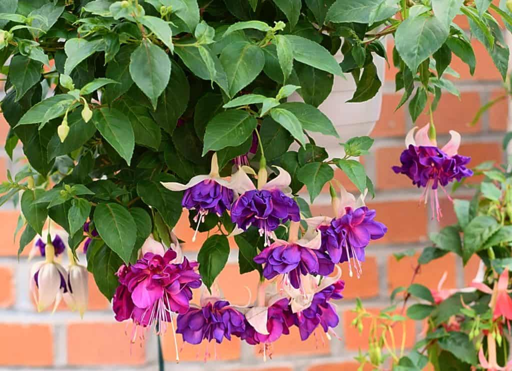 62 purple flower types with pictures flowerglossary typically found in hanging baskets due to its unusual shape the contrasting red and purple petals will add the perfect pop of color mightylinksfo
