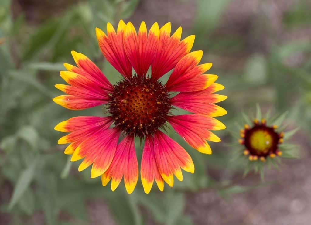 gallardia blanket flower