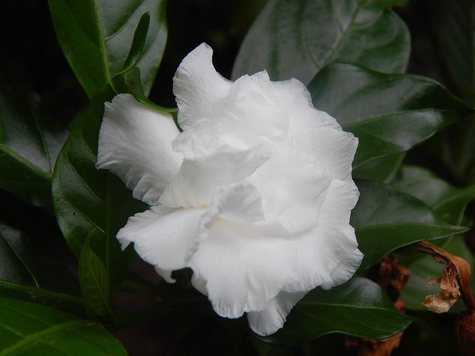 Unofficially Known As The Flower Of South These Bright White Flowers Have Beautiful Contrasting Dark Leaves