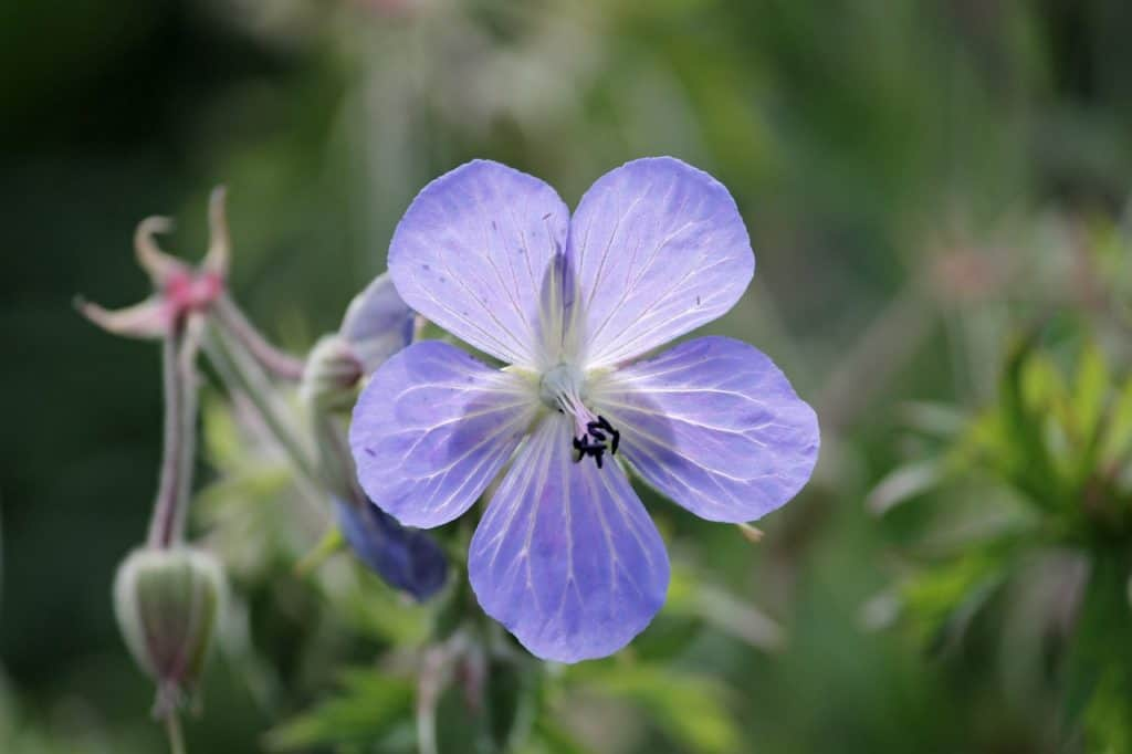Perennial geranium flowers seed easily and bloom from early summer to early fall. The flowers come in a variety of colors, including blue, ...