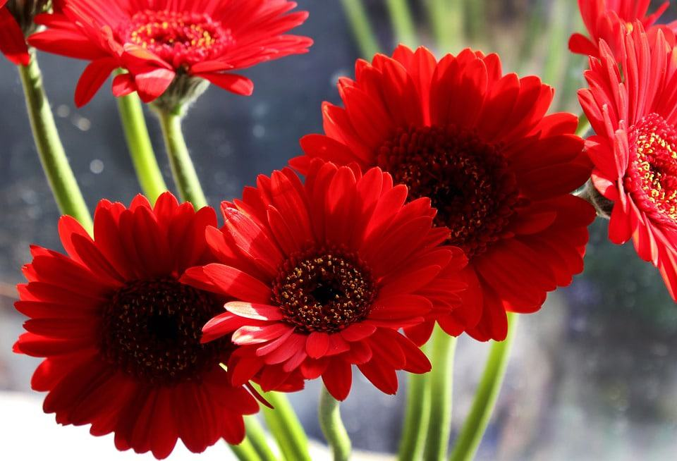 40+ Types of Red Flowers with Pictures | Flower Glossary