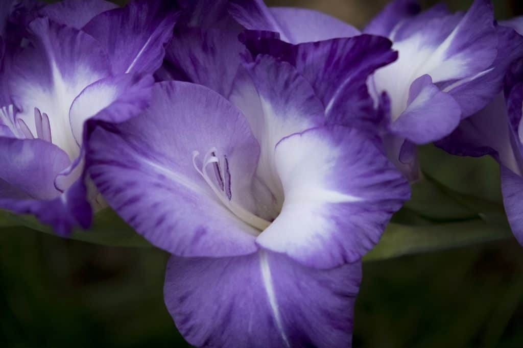 62 purple flower types with pictures flowerglossary the perfect bloom to plant with sunflowers as they can match them in height and beauty gladiolus have large flowers which can get up to 6 feet tall mightylinksfo