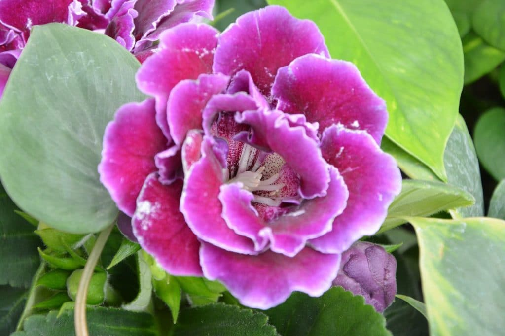 62 purple flower types with pictures flowerglossary with a bloom that lasts two months these tiny flowers are perfect for anyone who loves roses as they look like miniature versions mightylinksfo