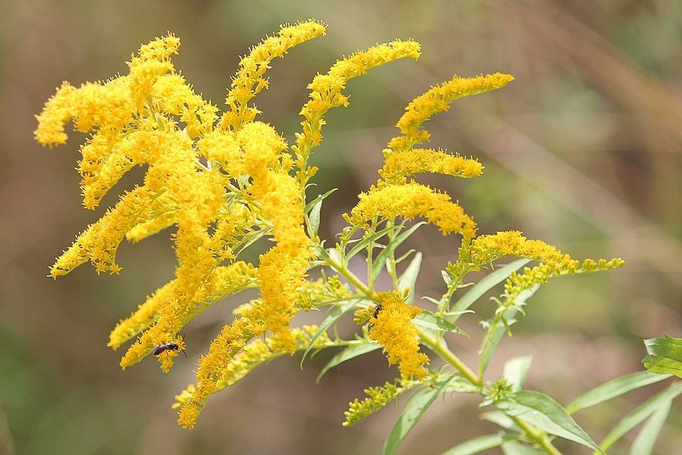 30 types of yellow flowers with pictures flowerglossary goldenrod mightylinksfo