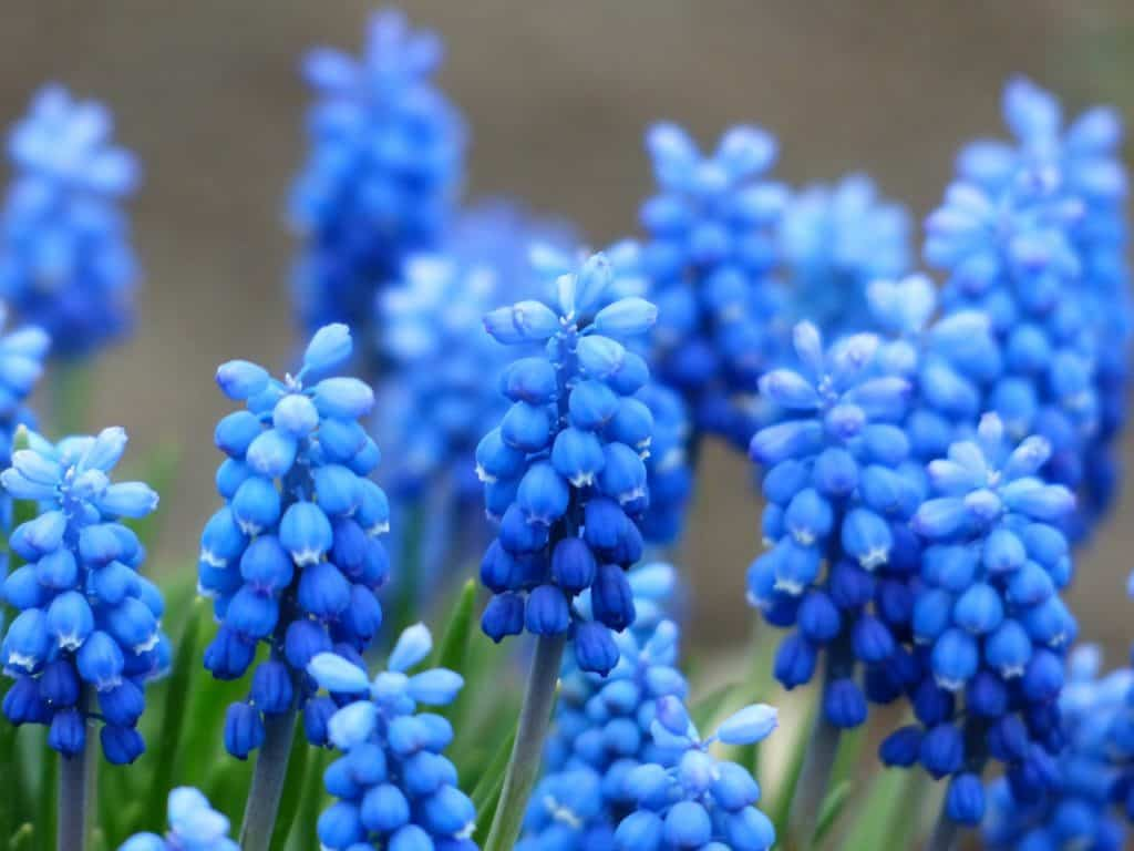 40 types of blue flowers with pictures flowerglossary these bulbs bloom in spring producing clusters of tiny blue or purple flowers that resemble grapes these are the perfect flowers for attracting birds to izmirmasajfo