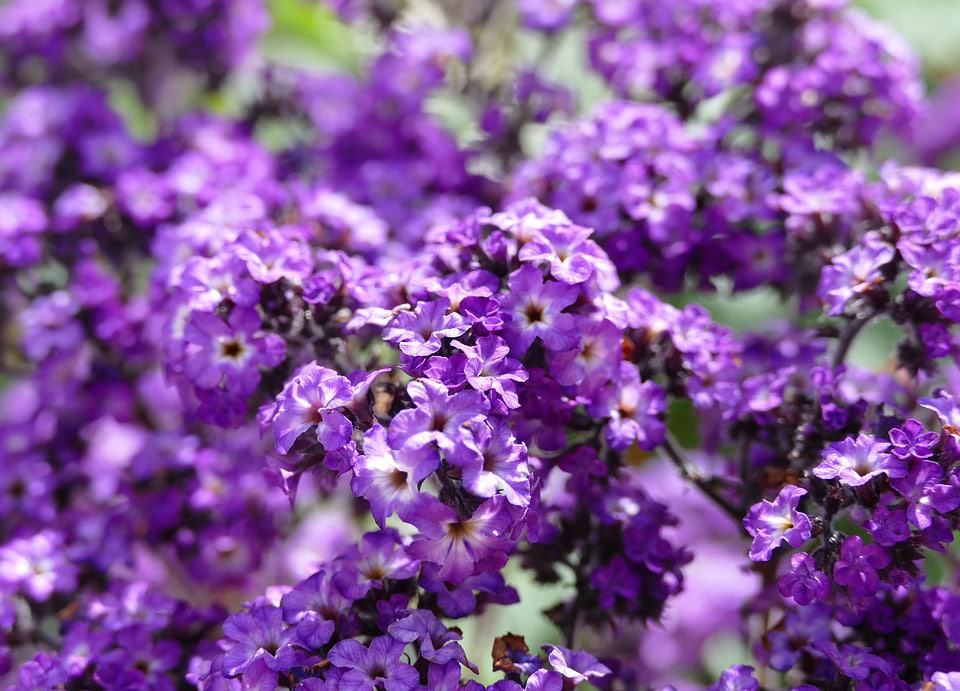 62 purple flower types with pictures flowerglossary if you enjoy having heavily scented flowers in your garden then the heliotrope is for you with a very strong scent these tiny clusters of flowers are mightylinksfo