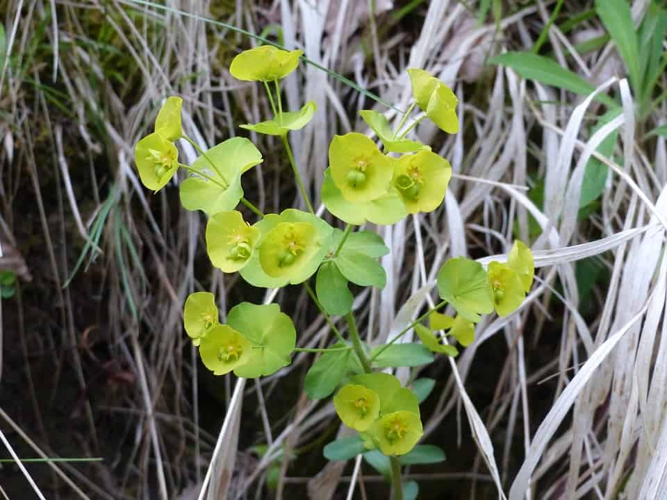 30 types of yellow flowers with pictures flowerglossary the blooms from a hellebores can bring continued happiness for a long time they are one of the longest blooming flowers lasting up to 8 weeks with proper mightylinksfo