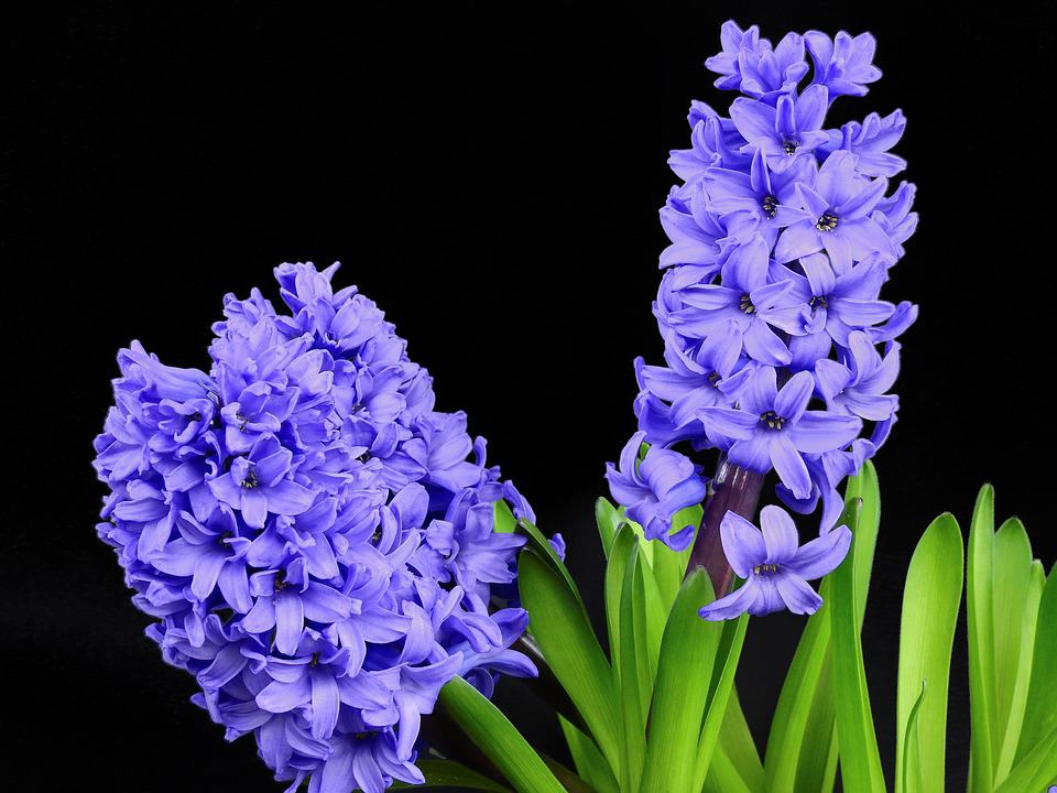 wld purple hyacinth