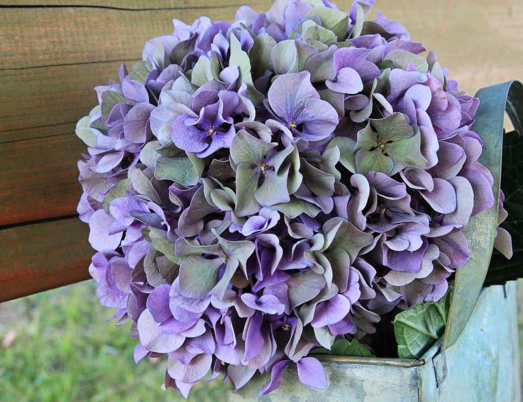 Although They Are Naturally Purple Their Color Can Change Depending On The Type And Quality Of Soil