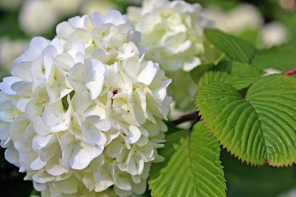 45 types of white flowers with pictures flowerglossary hydrangea mightylinksfo