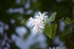 jasmine flower white