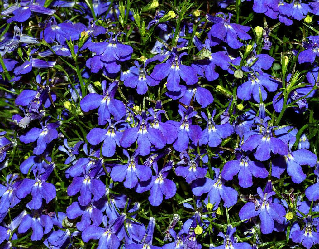 40 Types Of Blue Flowers With Pictures Flowerglossary