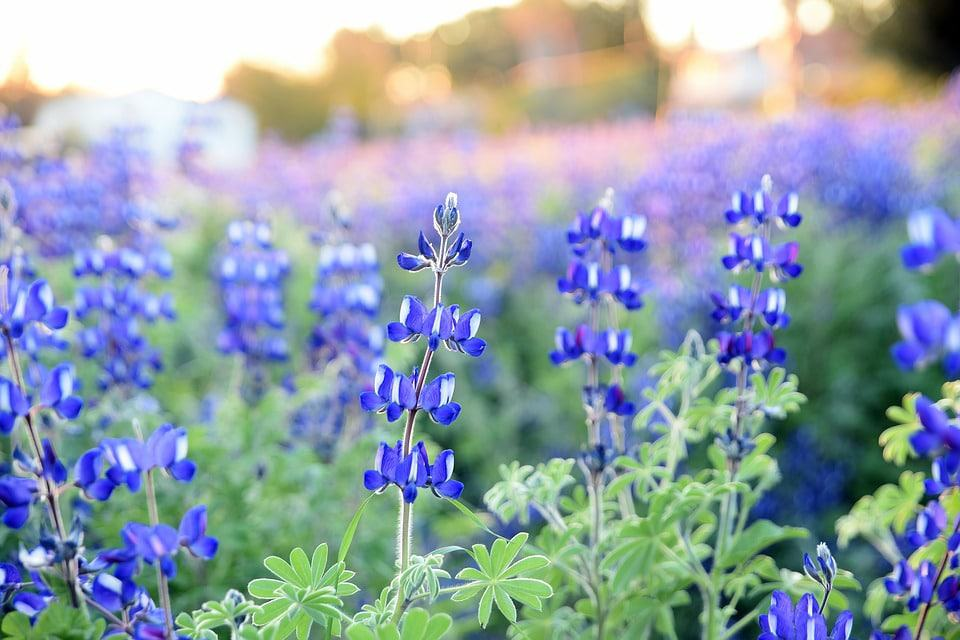 40 Types Of Blue Flowers With Pictures Flower Glossary