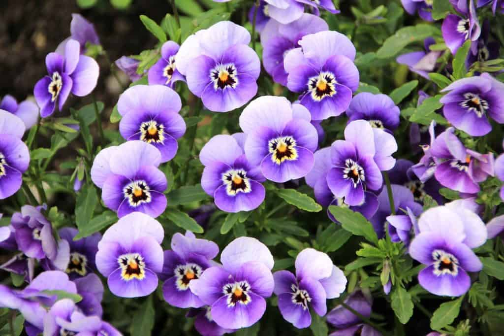 62 purple flower types with pictures flowerglossary purple pansy these colorful little flowers mightylinksfo