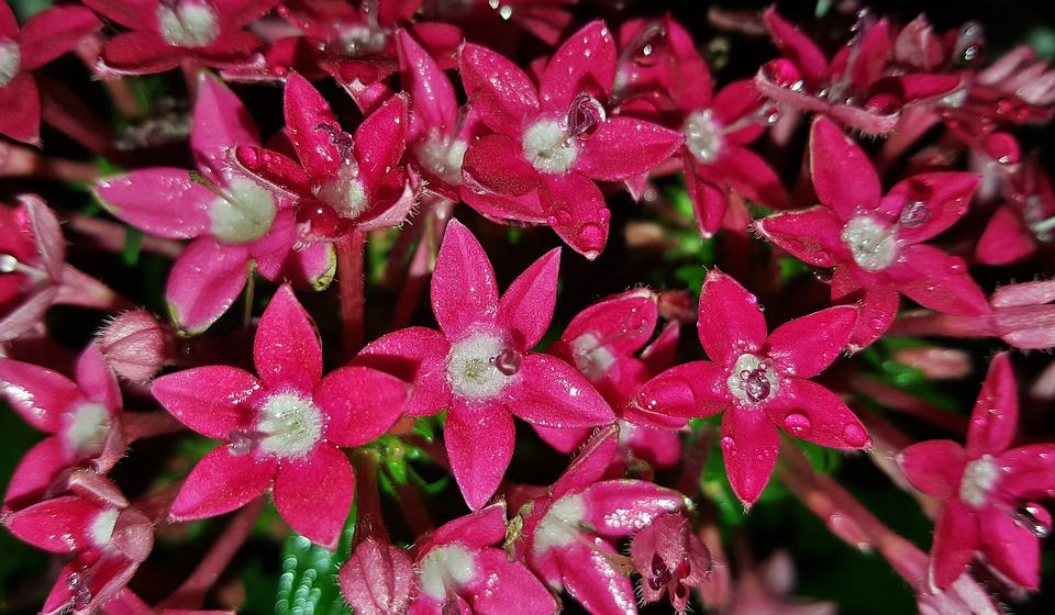 40 types of red flowers with pictures flowerglossary pentas mightylinksfo