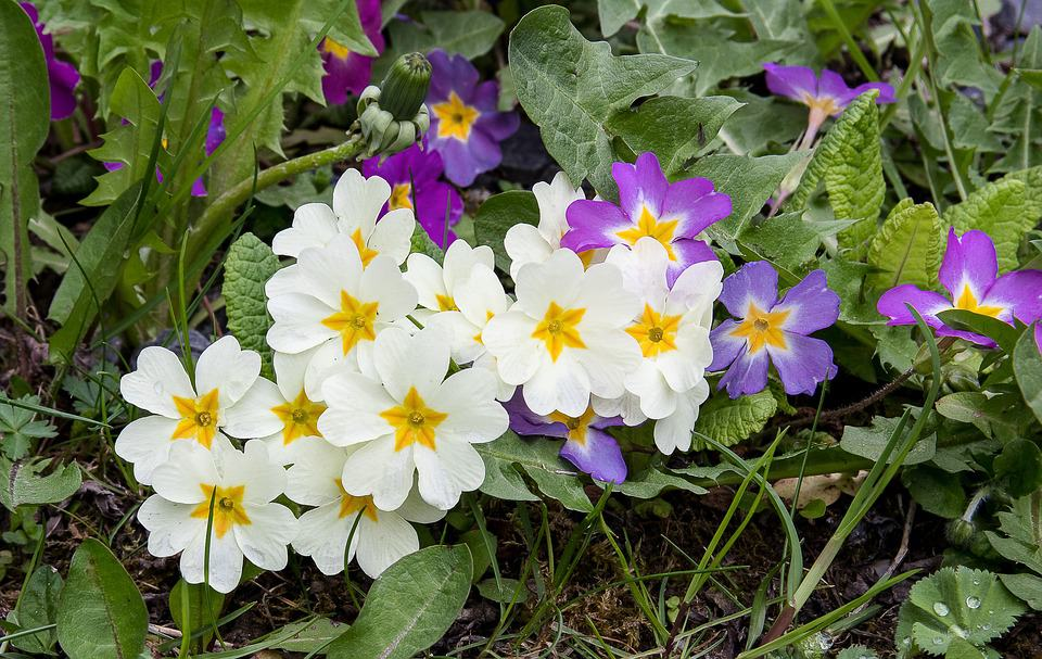 45 types of white flowers with pictures flowerglossary primrose mightylinksfo