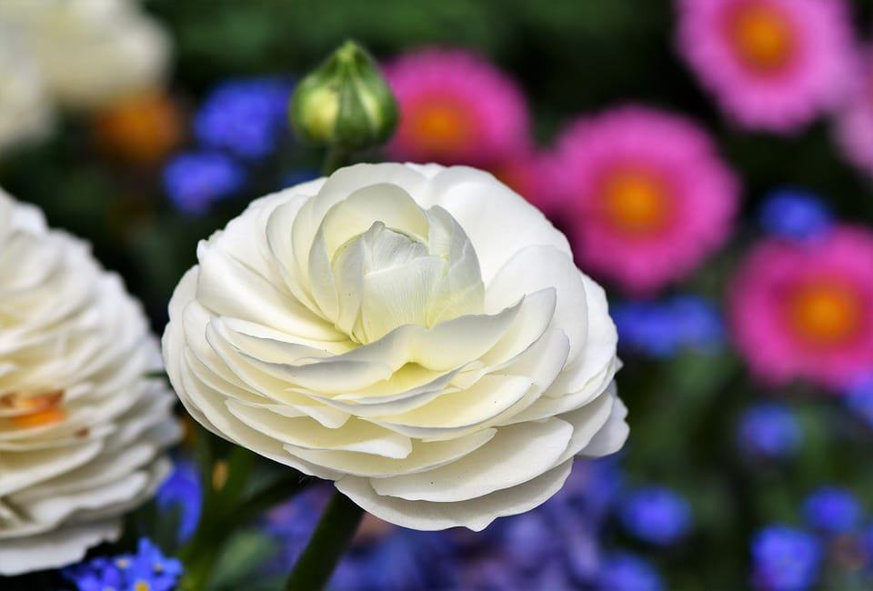 45 types of white flowers with pictures flowerglossary ranunculus whiteg mightylinksfo