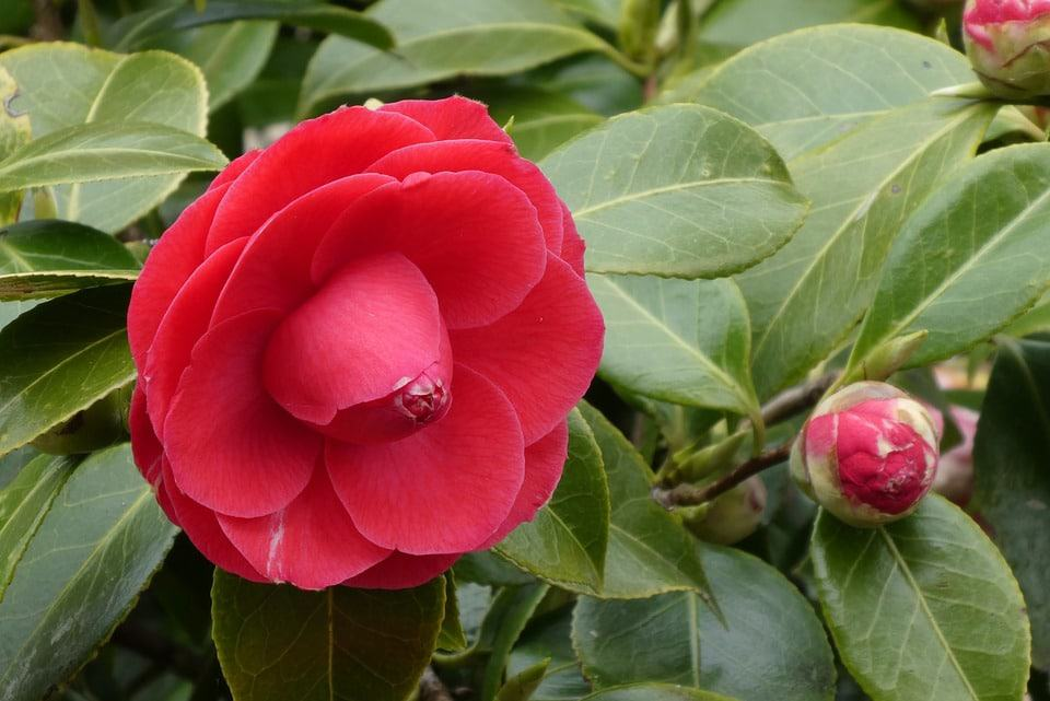 40 types of red flowers with pictures flowerglossary lucky enough to live in a temperate region though make a place for these in your yard the fragrant flowers which range from red to pink to white are mightylinksfo