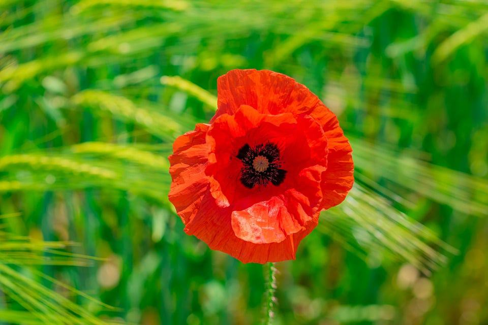 Oriental Poppies Produce Showy Red Flowers In Late Spring Or Summer If You Live England These Are Considered To Be A Very Patriotic Flower As They