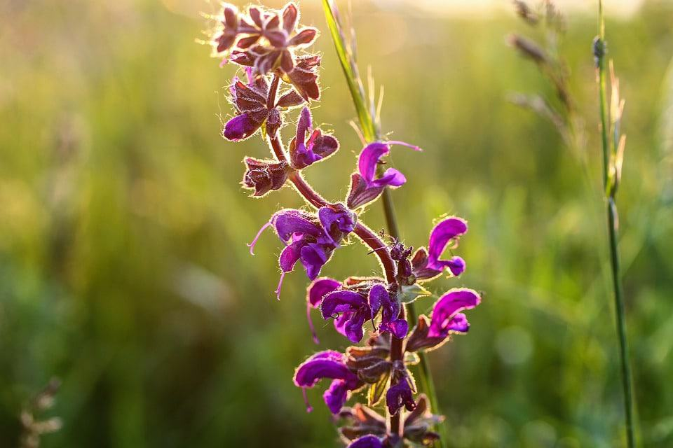 62 purple flower types with pictures flowerglossary salvia mightylinksfo