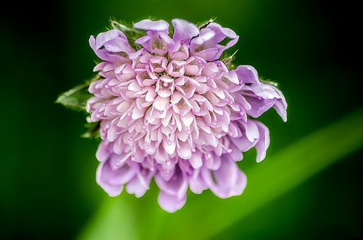 62 purple flower types with pictures flowerglossary scabiosag mightylinksfo